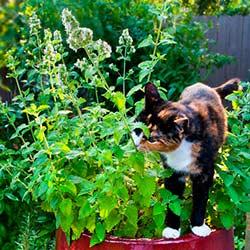 котовник выращивание из семян