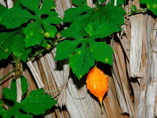 момордика выращивание и уход