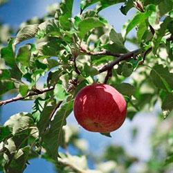 на яблоне скручиваются листья