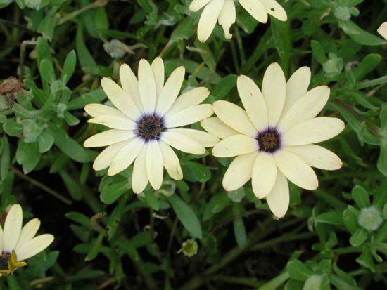 остеоспермум выращивание и уход