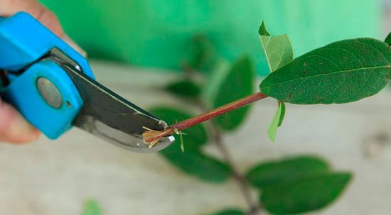 размножение жимолости черенками весной