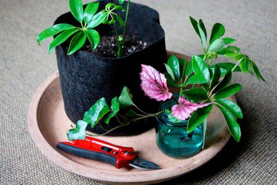 шефлера цветок уход в домашних условиях