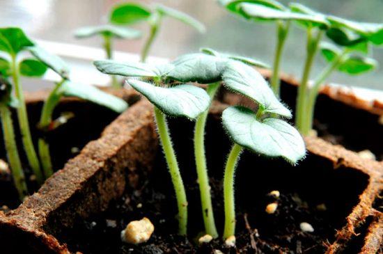 бамия как выращивать