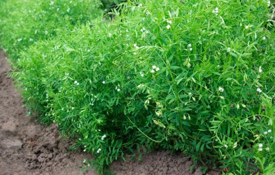 чечевица выращивание на даче