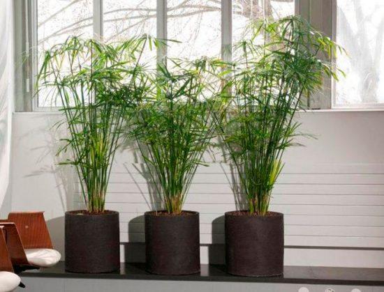 циперус как выращивать дома
