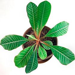 эуфорбия в комнатном цветоводстве