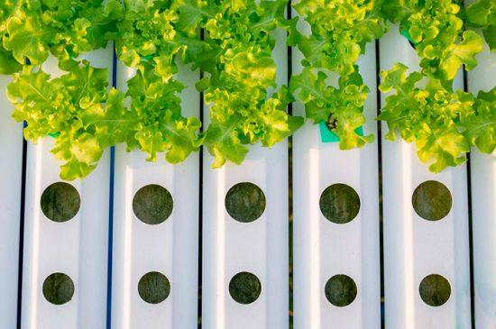 выращивание зелени в воде