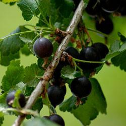 противопоказания ягод йошты