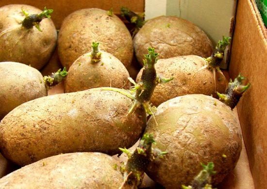 как посадить картофель без перекопки