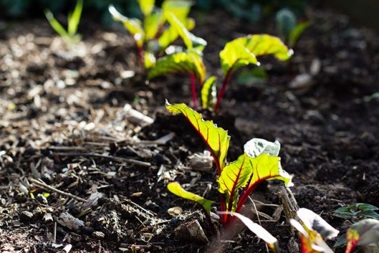 как посадить свеклу чтобы потом не прореживать