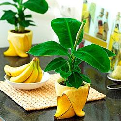 Вырастить банан из семян в домашних условиях