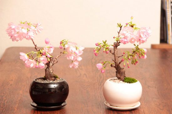 Как выращивать декоративную сакуру