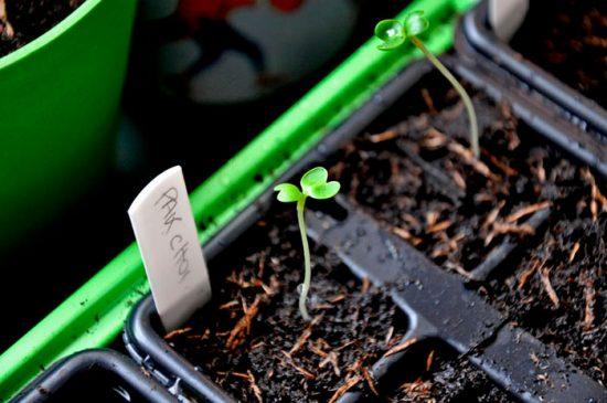 капуста пак чой выращивание и приготовление