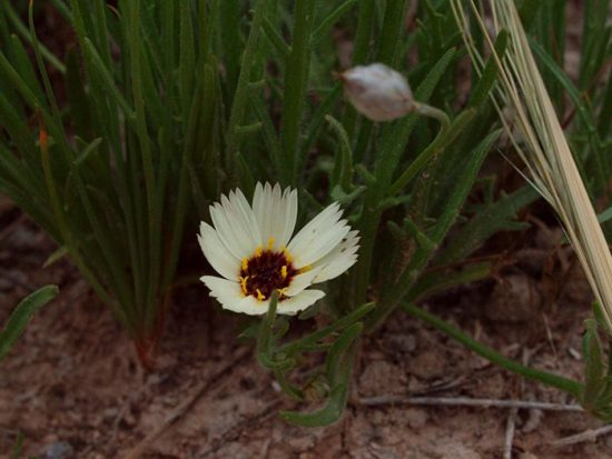 катананхе выращивание из семян