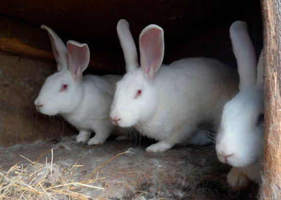 кролики великаны породы