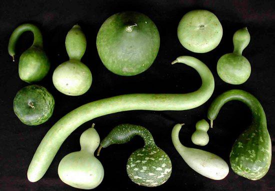 лагенария выращивание