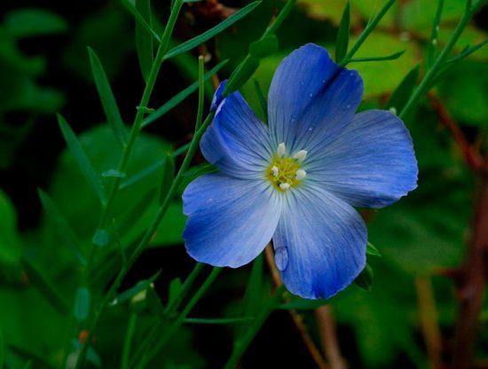 лен голубой многолетний посадка и уход