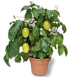 маракуйя выращивание в домашних условиях