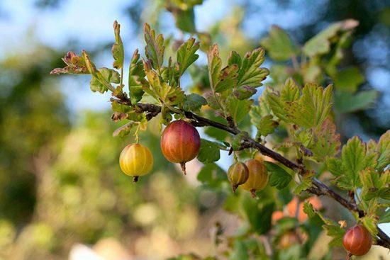 обрезка плодовых растений