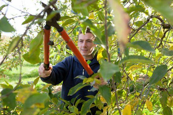 обрезка плодовых деревьев летом