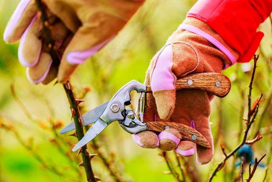 как обрезать садовые розы