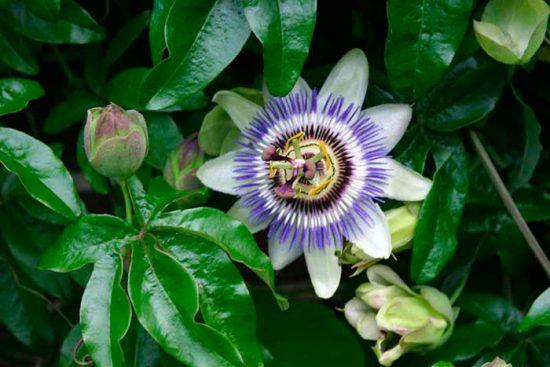как выращивать пассифлору дома
