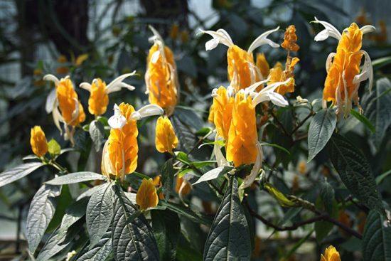 Пахистахис в саду