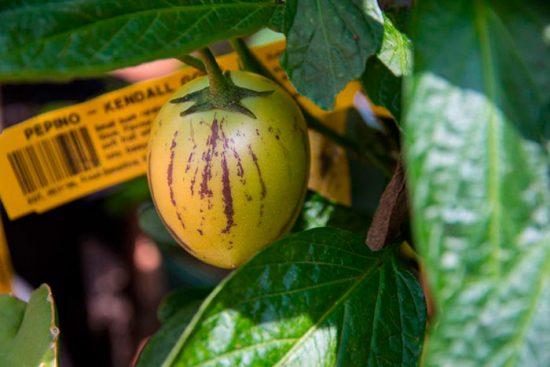 пепино выращивание в домашних условиях