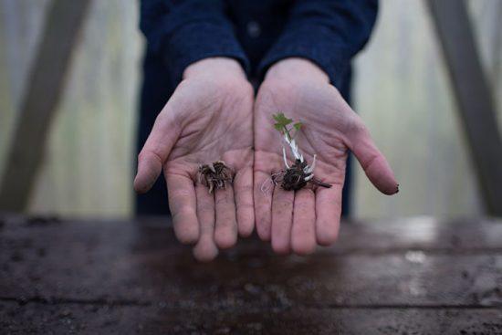 ранункулюсы посадка и уход в открытом грунте