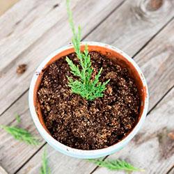 как размножить и посадить можжевельник