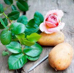 роза в картошке способ выращивания