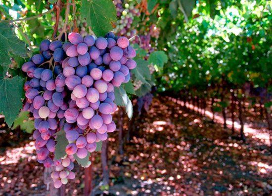 рецепты из винограда