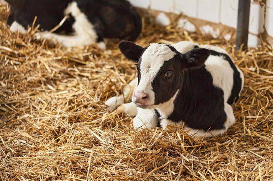 выращивание бычков на мясо в домашних условиях