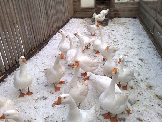 выращивание гусей линда в домашних условиях