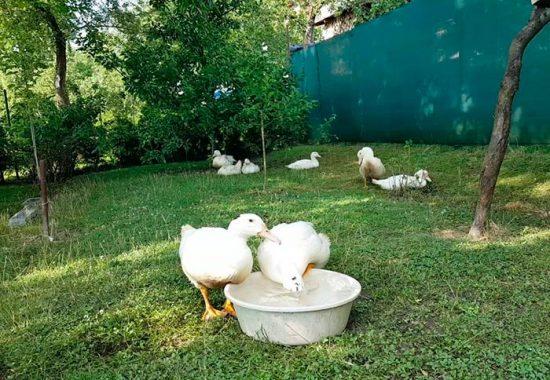 выращивание мулардов в домашних условиях