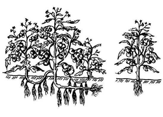 выращивание помидоров по методу и.м маслова