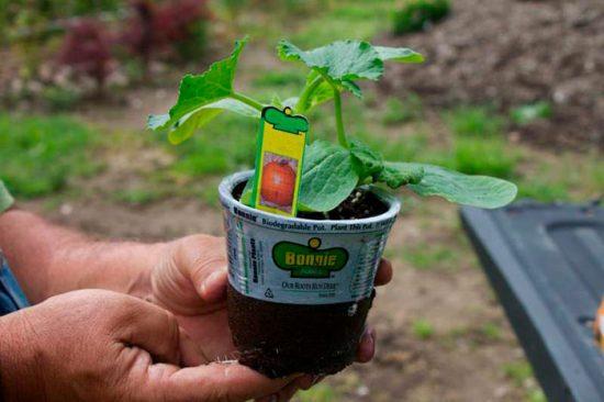 вырастить тыкву в горшке