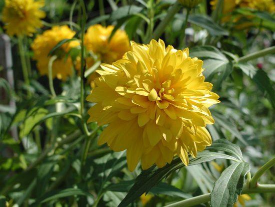 золотые шары цветы выращивание