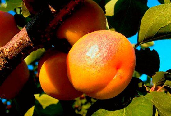 виды абрикоса