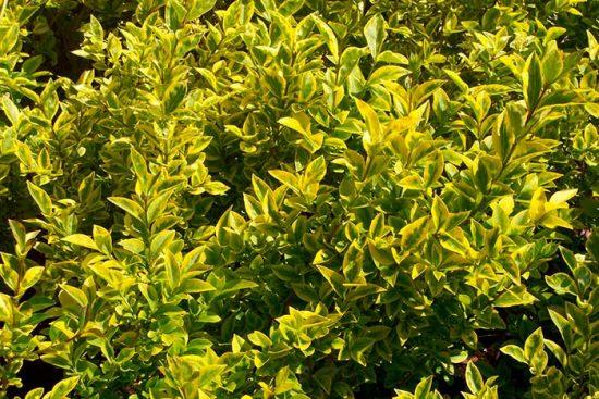 кустарник с золотыми листьями