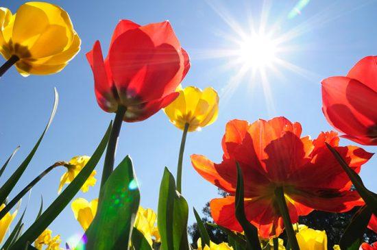 типы подкормок для тюльпанов