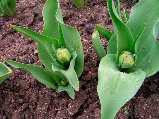 подкормка луковичных растений
