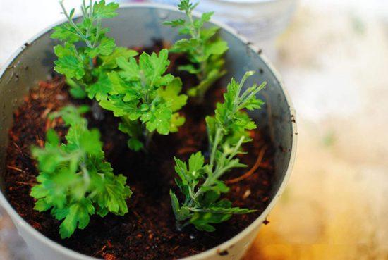 укоренение растений