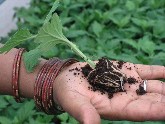 как посадить черенок