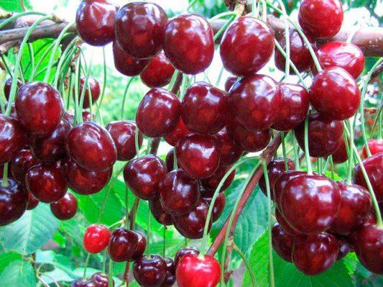 плоды тютчевки