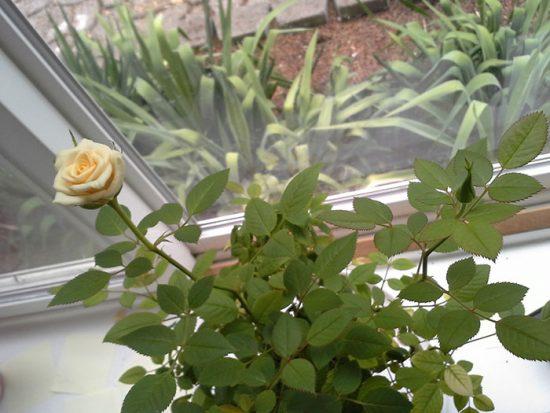 удобрение комнатной розы