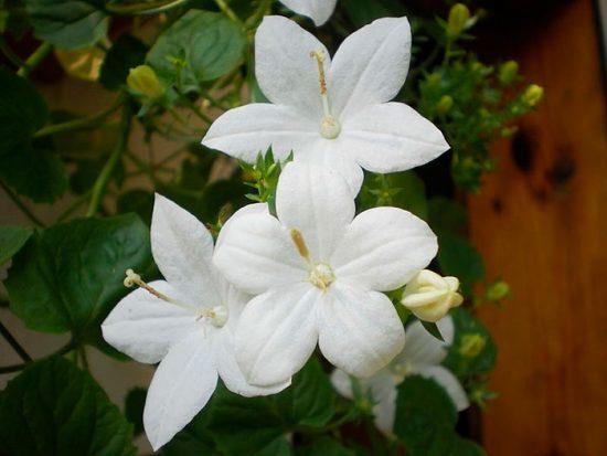 растение невеста