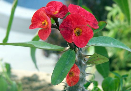 сорт цветущих растений