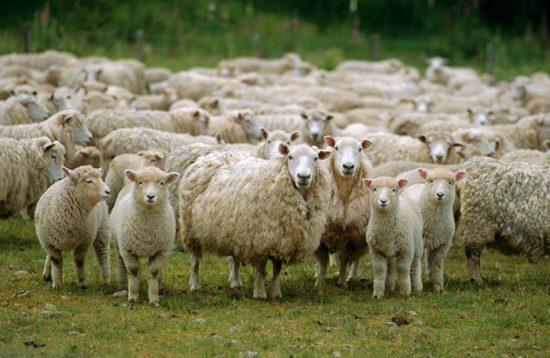 овцеводство выгодный бизнес