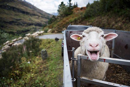 чем кормить овец